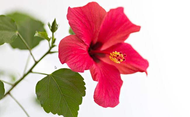 how to stop hair fall hibiscus
