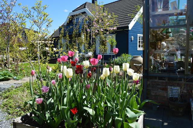 En solrik dag i Cornelias Verden - Tulipaner inntil drivhuset