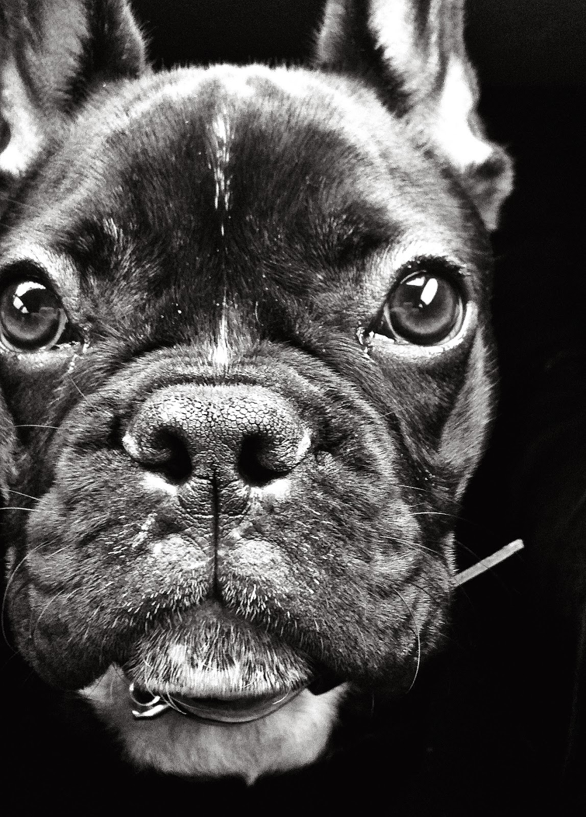 photo beau bouledogue