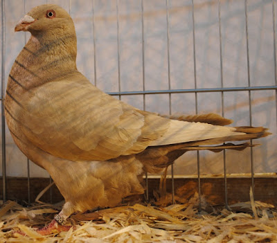 pigeon breed