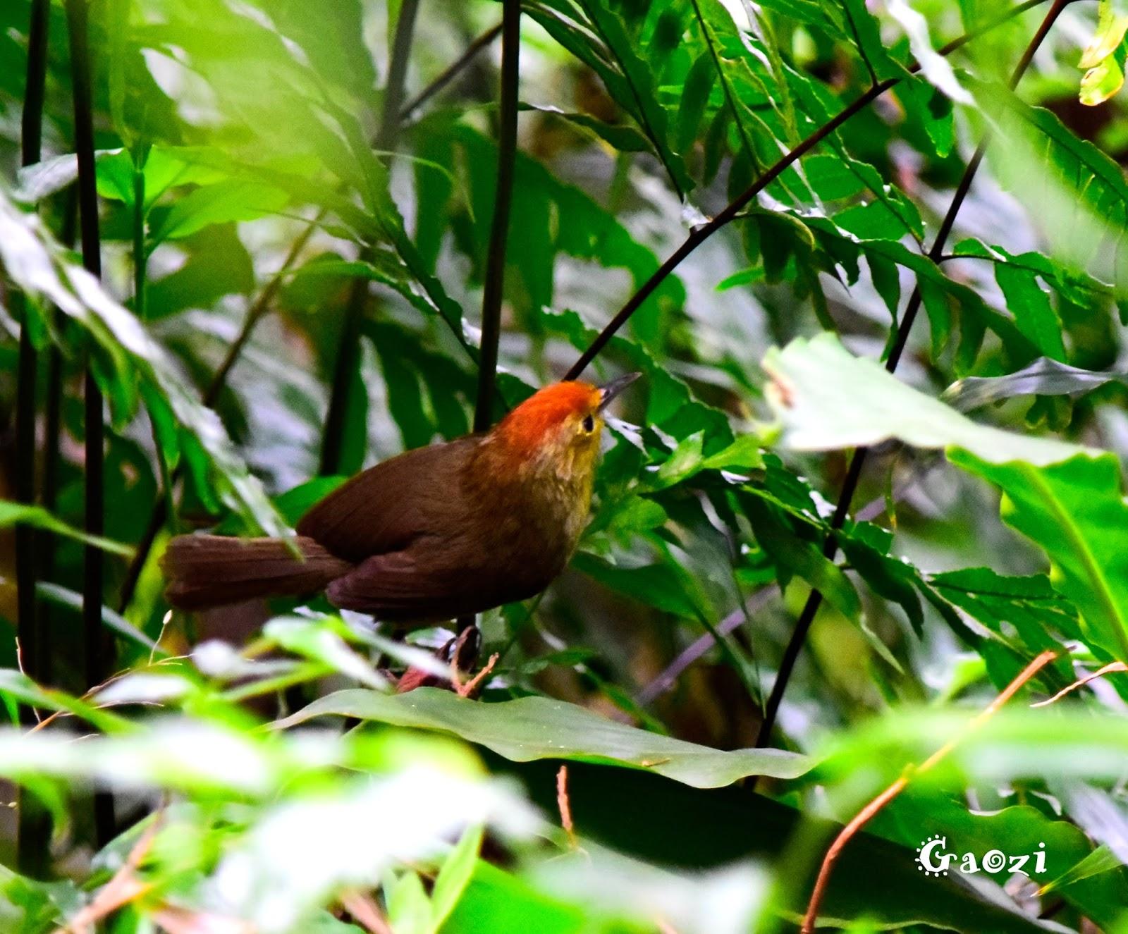 鳥鳥日子: 山紅頭