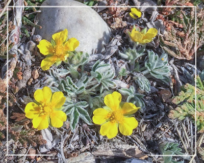 Early Cinquefoil. Copyright © Shelley Banks, all rights reserved.
