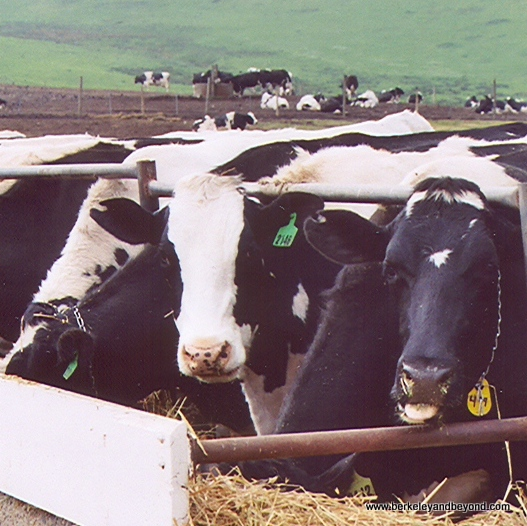 close-up of cows at Point Reyes National Seashore in Olema, California