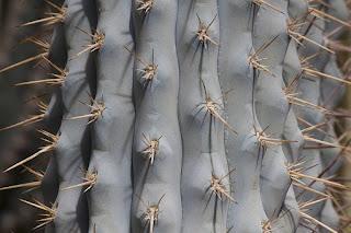 Szary kaktus