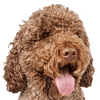 chien d'eau portuguais