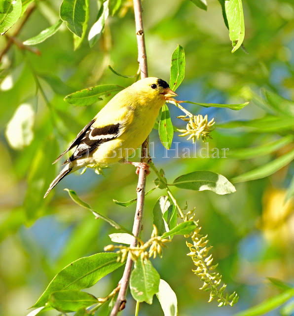 Goldfinch Playing on Tree Branch