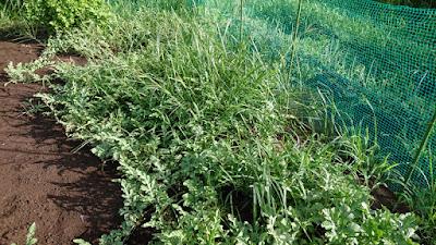 湿度100%の中、汗だくの雑草抜き。