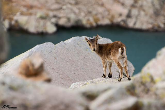 Cada generación de cabra montés de Gredos hereda una genética empobrecida por el cuello de botella que sufrió la subespecie a principios del siglo XX cuando quedaron tan solo doce ejemplares. Laguna Cimera, Gredos (Ávila).