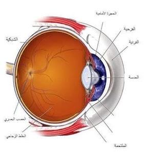 مكونات العين الصلبة و المشيمية و القرنية و الشبكية والقزحية و حدقة العين و العصي والمخاريط