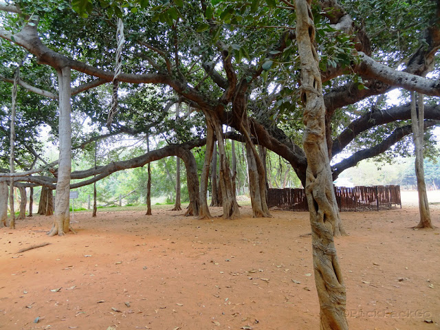 Meditation in India -Bodhi tree at Auro Ville Pondicherry Pick, Pack, Go
