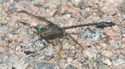 Black-shouldered Spinyleg (Dromogomphus spinosus)