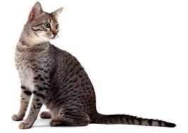 Kucing Egyptian Mau dan Karakteristiknya