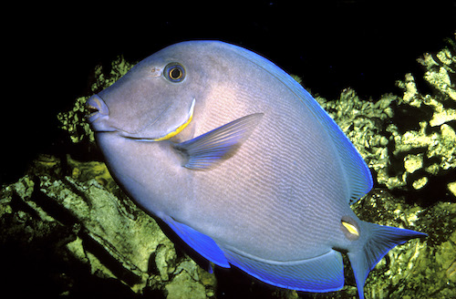 Acanthurus coeruleus Photo : Aqua Press