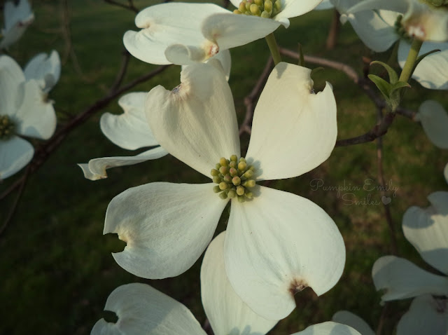 A white flower on a Dogwood tree