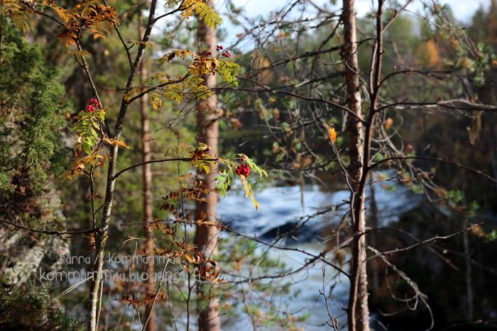 pieni karhunkierros oulanka oulangan kansallispuisto ruska pihlaja
