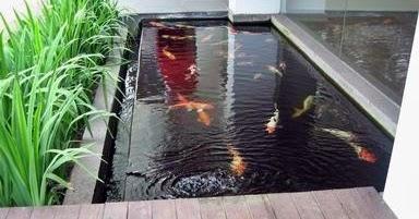 kolam koi minimalis - akuarium ikan hias