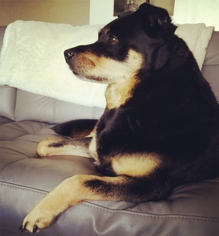 image of Zelda the Black and Tan Mutt on the couch, looking alert