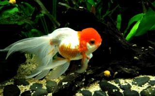 Cara mudah ternak ikan mas koki di aquarium