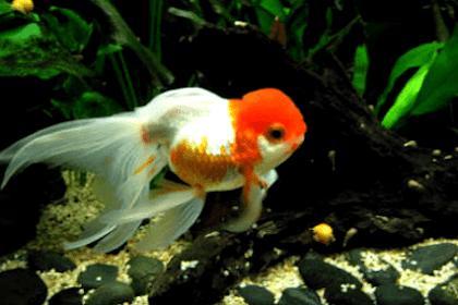 Cara Budidaya Ikan Mas Koki di Akuarium dengan Mudah