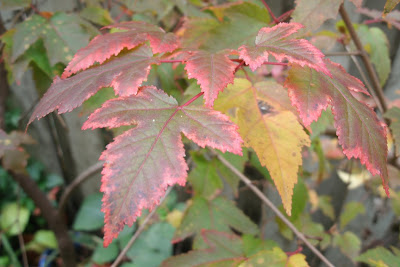 Acer ginnala Amur maple fall leaf colour by garden muses--a Toronto gardening blog