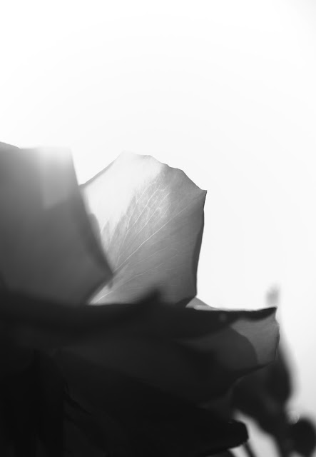 monochrome rose -2
