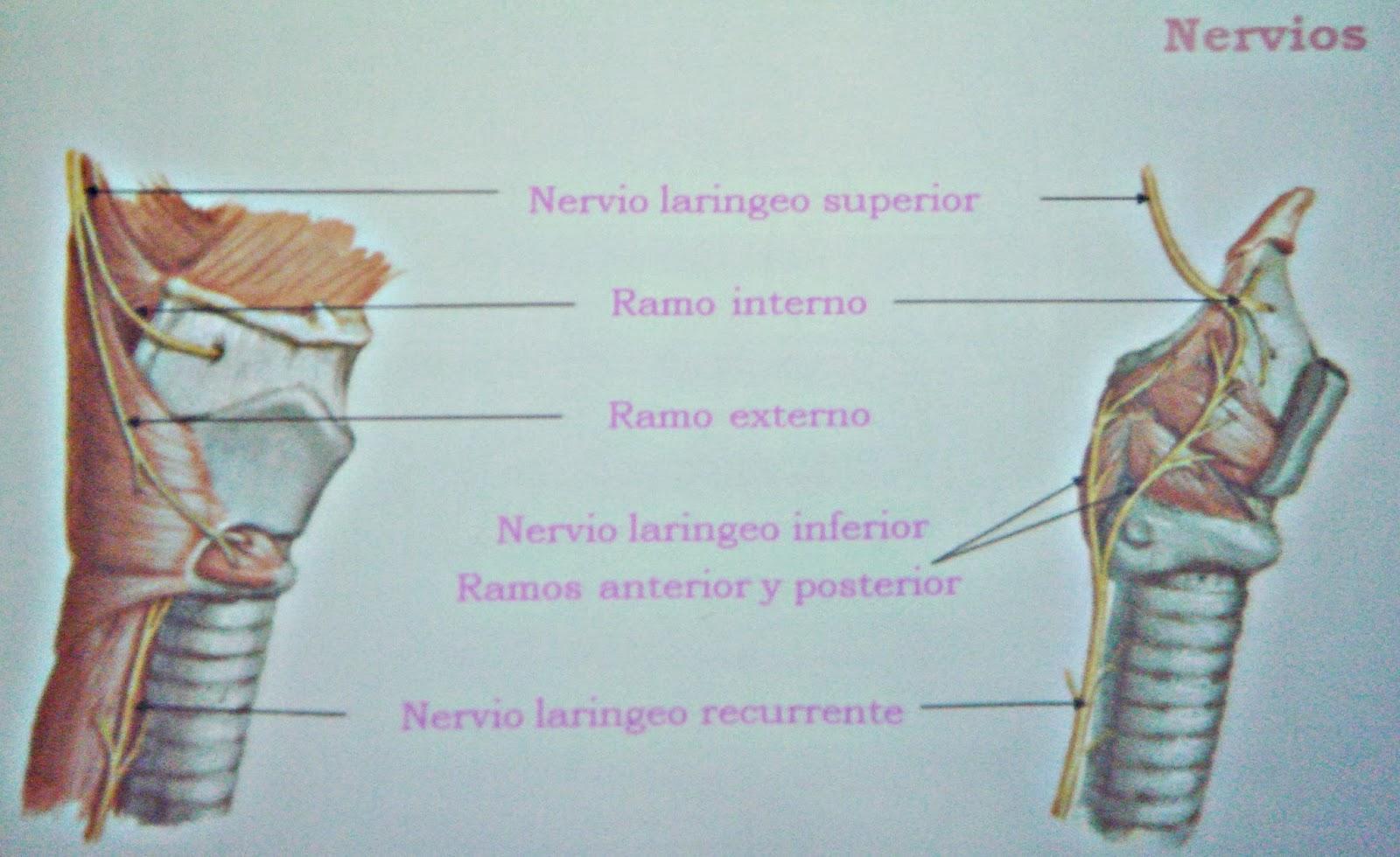 Laringe - Sistema respiratorio
