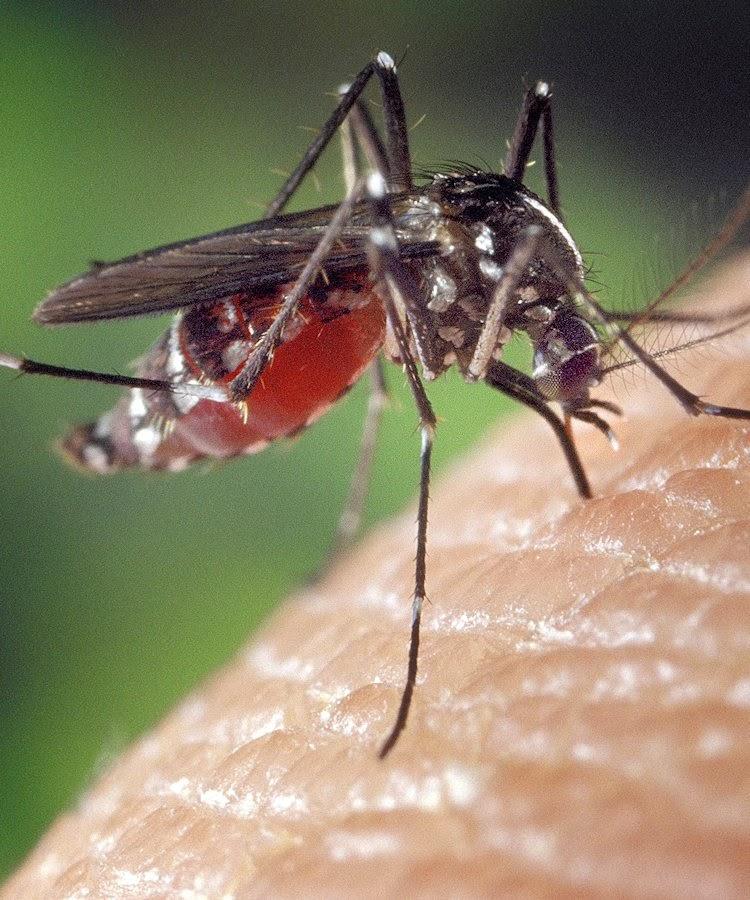A dengue, transmitida pelo mosquito Aedes aegypti,  ultrapassou 1,5 milhão de casos em 2013,  três vezes mais do que em 2012!
