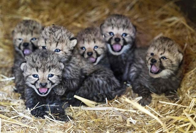 Шесть котят гепарда в своем вольере в зоопарке Burgers в Арнеме, Нидерланды