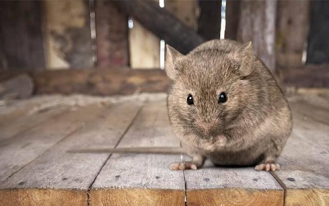 Tips mudah elakkan tikus dari masuk ke loteng rumah anda