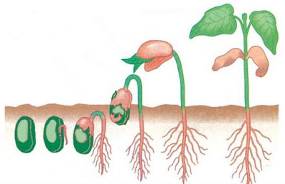 Pengertian Pertumbuhan dan Perkembangan Tumbuhan