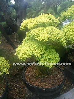Bonsai Legistrum Ki hujan