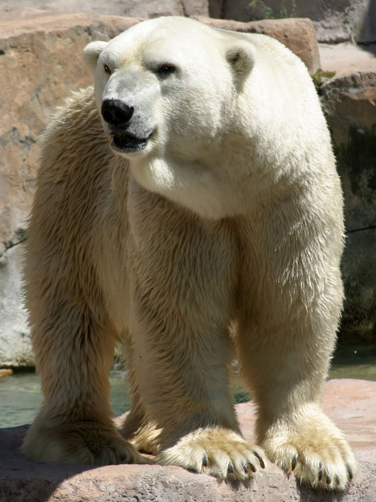 Polar Bears The Life Of Animals