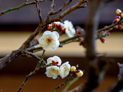 Hakubai (white apricot tree) blossoms: Engaku-ji