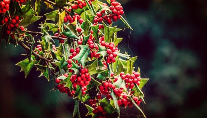 Tipos de plantas de navidad