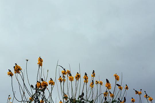 yellow flowers, grey sky, flowers, contemporary photography, Sam Freek,