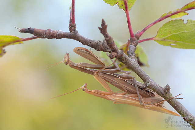 European mantis (mating) - Mantis religiosa