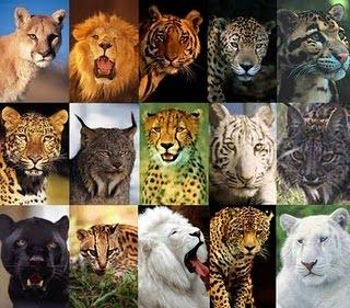 #Felinos (Felídeos) - Características dos Felinos