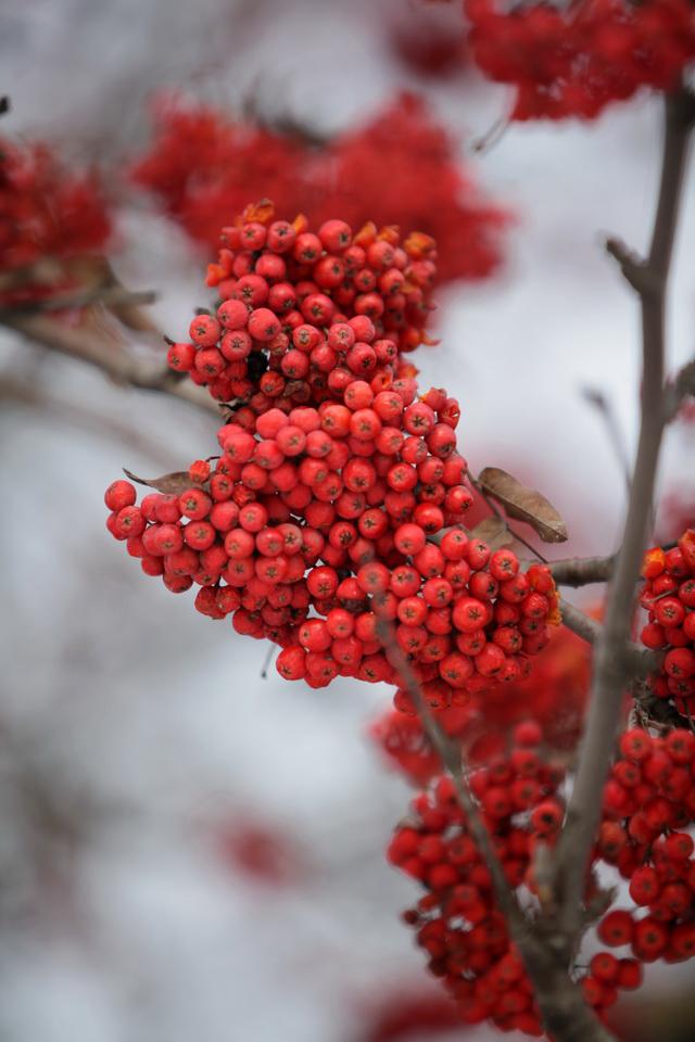 фото рябины красной зимой