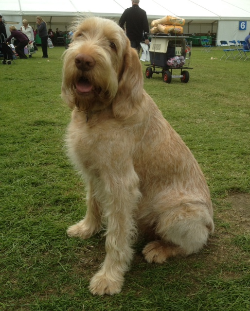 Italian Spinone Dog Grooming