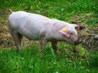 O que significa sonhar com porco branco