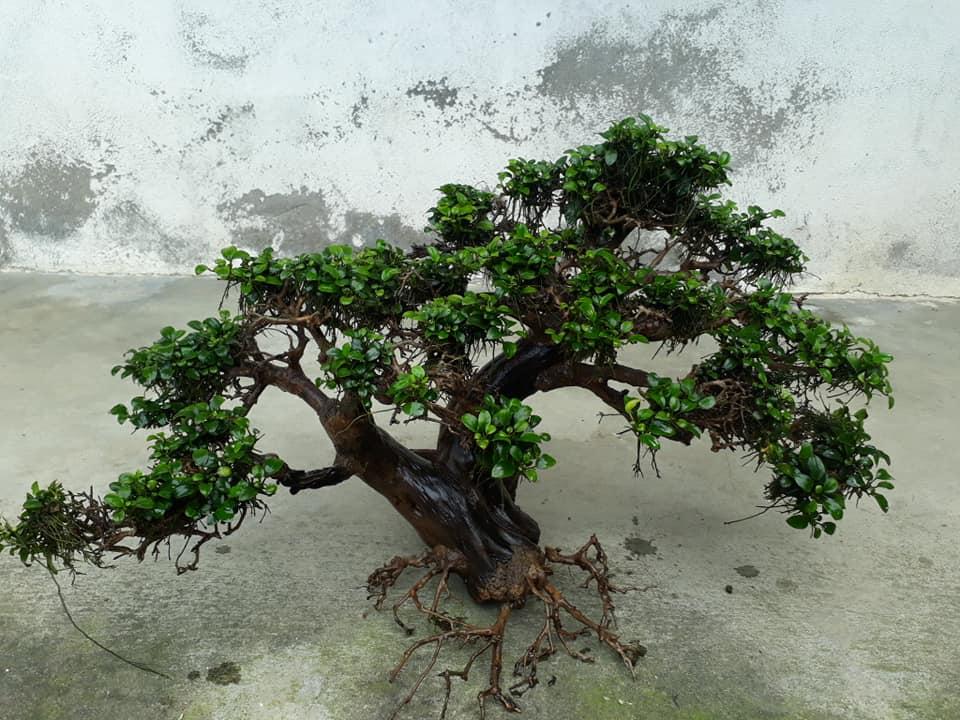 Cây thủy sinh nana petite buộc bon sai của anh Hải Nguyễn