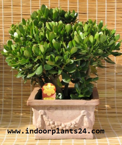 Crassulaceae Chinese Jade indoor Plant picture