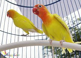 Cara Membuat Lovebird Ngekek Panjang Paling Ampuh