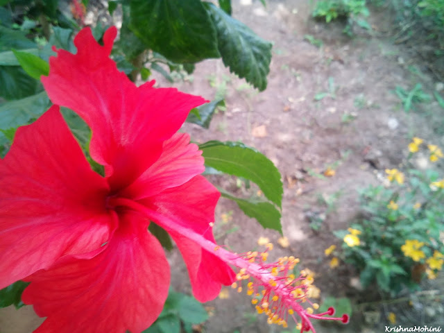 Image: Red Hibiscus-Jaswand flower