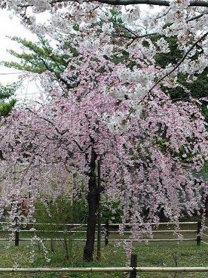 手児奈霊神堂(市川市真間)のシダレ桜