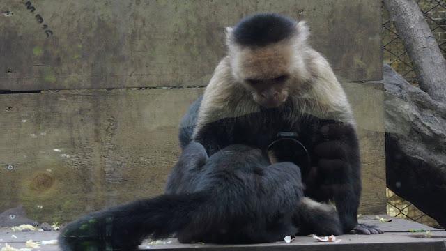 El mono carablanca, maicero cariblanco, capuchino, tanque, machín, caurara o carita blanca
