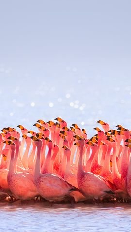 Flamingo Bird Wallpapers For Android