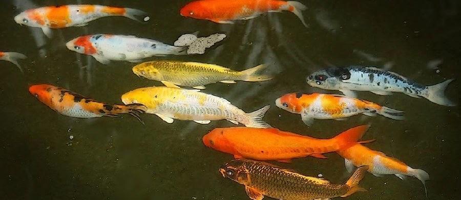 Pemijahan Ikan Mas? Ini Dia Tahap Mengawinkan Ikan Mas Secara Lengkap Beserta Gambarnya
