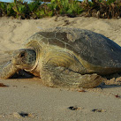 2016 Florida Sea Turtle Nesting Season Begins
