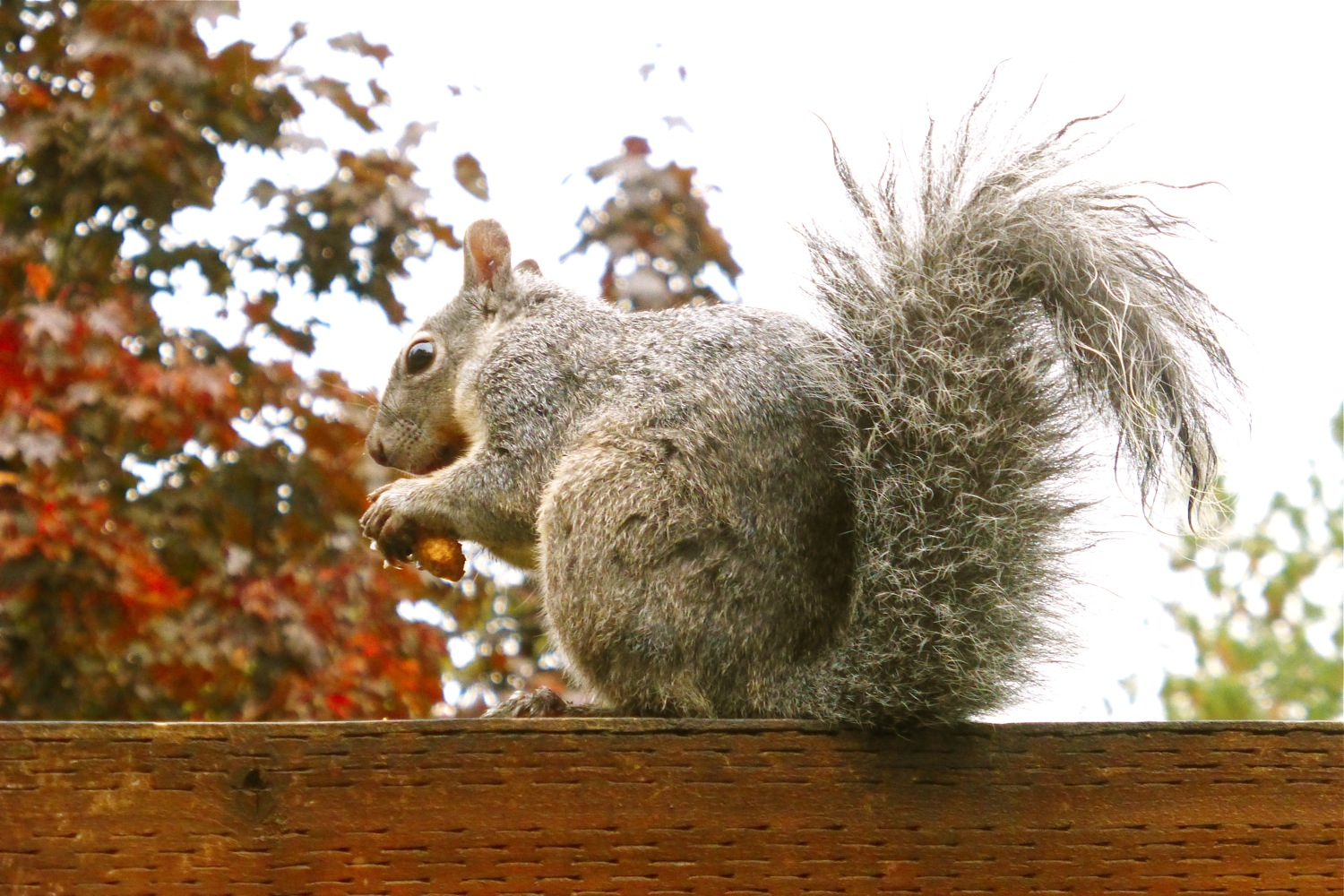 autumn garden, Pacific Northwest gray squirrel, Pacific Northwest grey squirrel, Oregon squirrel